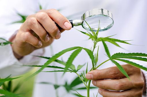 What is industrial hemp?
